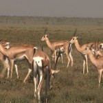 093. Grant's gazellen