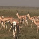 093. Grant's gazelle