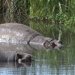 111. Hippo pool