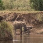 064. elephants drinking in Mara river