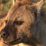 013. gevlekte hyena