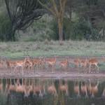 016. spiegelbeeld impala's