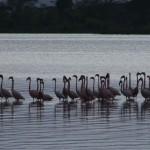 056. flamingos in Lake Elementaita