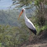 057. Yellow billed stork