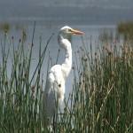 075. Great Egret