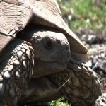 054. Leopard tortoise