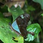 025. Swallowtail (Papilio phorcas)