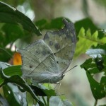 031. Forest Mother of Pearl (Salamis parhassus)