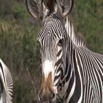 035. Grevy zebra