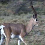 040. Grant's gazelle