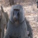 032. baboon leader