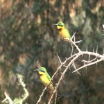 051. bee eaters