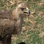 003. Tawny eagle