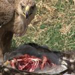 028. Tawny eagle caught Verreaux's Eagle-owl