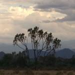 052. Doum palmen in Samburu