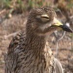 021. Spotted thick-knee