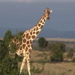 057. Net giraffe
