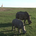 017. white Rhino