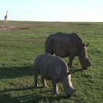 058. witte neushoorns