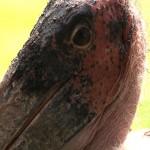 022. Marabou stork