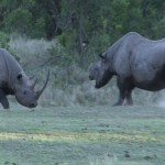 019. black Rhino fighting