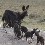 014. litter of 10 pups