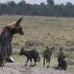 069. wilde honden