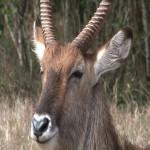 070. Waterbok