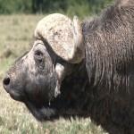 072. Buffalo Bill