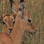 004. Impala kids