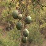 075. Canonball tree