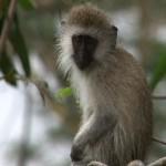 074.  Green vervet monkey