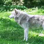 078. Canadese grijze wolf