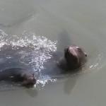 042. zeeleeuwen in de vijver