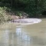 061. Nijlpaarden in de vijver