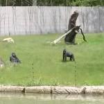 062. Gorilla kolonie