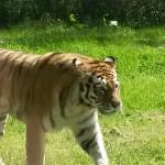 070. Siberische- of Amour tijger
