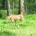 031. lioness hunting