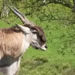 076. Cape eland antilope (m)