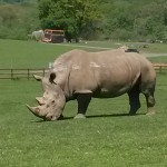 065. white rhino