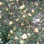090. pine cones