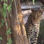 009. luipaard op jacht (v)