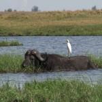 019. Cape- or water buffalo?