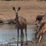 022. Kudu stand guard