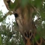036. giraffe