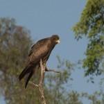 040. brown snake eagle