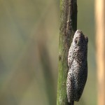 047. Painted reed frog