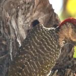 053. golden-tailed woodpecker