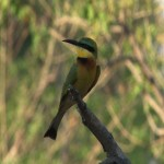 054. green bee-eater