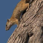 059. African bush squirrel